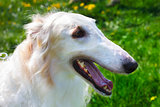 closeup portrait dog Borzoi breed smiling