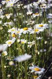 Close up image of wild daisy flowers in wildflower meadow landsc