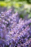 Close up image of wild lavender plant landscape with shallow dep