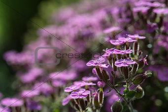Close up image of purple wild flower landscape