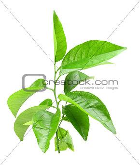 Branch of citrus-tree