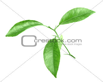 Branch of citrus-tree