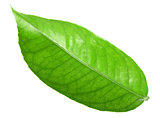 Green leaf of citrus-tree