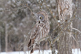A Great Grey Owl in a tree