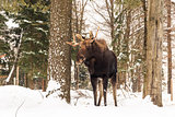 Moose in a winter scene