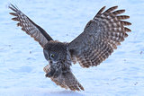 A Great Grey Owl in flight