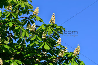 Blooming chestnut (lat. Castanea)