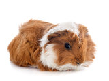 young Guinea pig