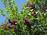 Bush of a lilac