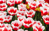 Spring red-white tulips close-up.