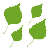 Set of vector green birch leaves for your design