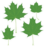 Set of vector green maple leaves for your design