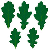 Set of vector green oak leaves for your design