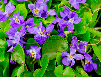 forest violets