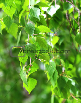 Branch of birch
