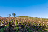 vineyard Saint Genes de Lombaud Bordeaux France