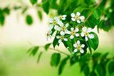 Pear flowers.