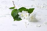 Jasmine Blossoms
