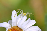 Spider on the flower
