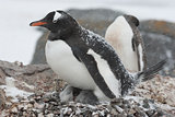 Gentoo penguin in the nest during a snowfall
