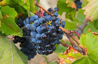 Ripe clusters of dark blue grapes.