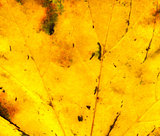Fall maple leaf texture