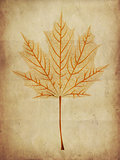 Maple leaf skeleton