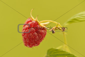 Berry of raspberry on green background.