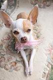 Chihuahua Ribbon