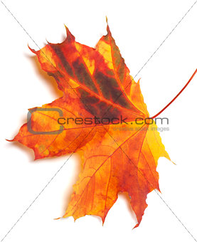 Autumn multicolor maple-leaf