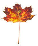 Multicolor autumn maple-leaf