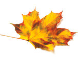 Yellowed autumn maple leaf on white background