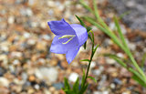 Blue campanula flower head