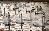 Gaggle of Swans