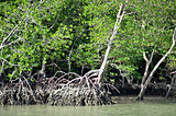Photography of mangrove forest with dense tangle of prop roots