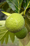 Photography of green bread fruit on the tree