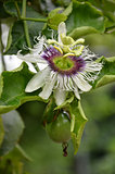 Photography of passion fruit flower on the tree