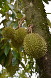 Photography of durian on the tree