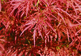 Japanese fire bush maple tree