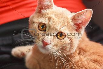 Little Red Kitten Sitting On Pillow
