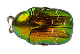Rose chafer  isolated