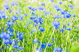 Cornflowers on the Meadow