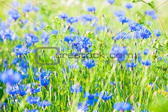 Cornflowers on the Meadow