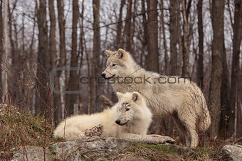 A pair of Arctic Wolves in the woods