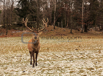 A lone Wapiti in the woods