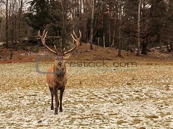 A lone Wapiti in the woods