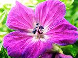 Purple or pink flower