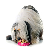 eating bearded collie