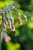 Ornamental onion plant nectaroscordum siculum with bee collectin