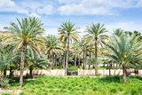 Palms Birkat al mud